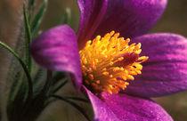 Küchenschelle - Pasque Flower von Werner Schulteis