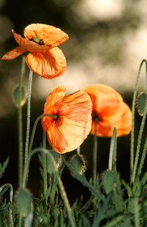 Klatschmohn - Red Poppy by Werner Schulteis