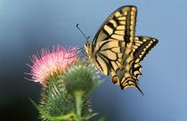 Schwalbenschwanz - Papilio macha von Werner Schulteis