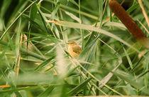 Teichrohrsänger - Eurasian Reed Warbler von Werner Schulteis