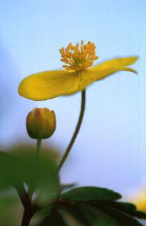 Gelbes Windröschen - yellow wood anemone by Werner Schulteis