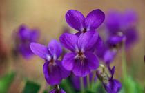 Duftveilchen I - Sweet Violet I von Werner Schulteis
