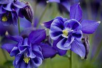 Akelei blau - columbine blue von Werner Schulteis