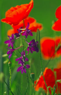 Rot und Lila - red and lavender by Werner Schulteis