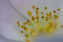 Feld-Rose I - field rose I by Werner Schulteis