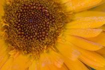 Ringelblume - Pot Marigold by Werner Schulteis