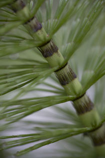 Riesen-Schachtelhalm - Great Horsetail  von Werner Schulteis