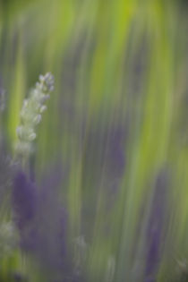 Französischer Lavendel- French Lavender von Werner Schulteis