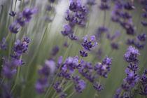 Echter Lavendel - true Lavender von Werner Schulteis