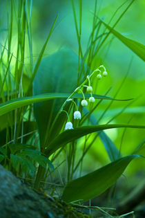 Maiglöckchen - Lily of the Valley II by Werner Schulteis