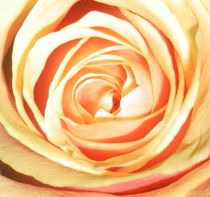yellow rose no2 von Angelika Reeg