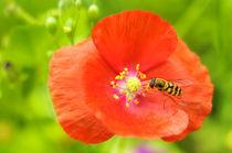Biene auf einer Mohnblüte von Carmen Steiner
