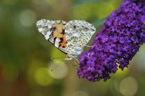 Schmetterling auf Sommerflieder von Carmen Steiner