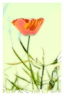 Mohnblume von Carmen Steiner