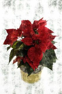 Weihnachtsstern von Carmen Steiner