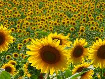Sonnenblumen by Andreas Herpens