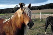 Pferd auf der Koppel von Lars Weber