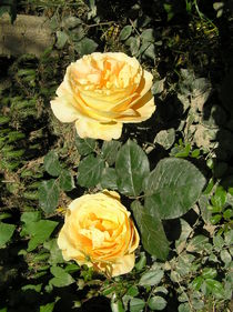 Yellow Roses von Ingrid Steinhilber Stöckl
