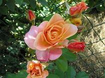 Rosen am Gartenzaun von Ingrid Steinhilber Stöckl