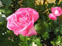 Rose im Morgentau von Ingrid Steinhilber Stöckl