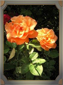Rose Orange by Ingrid Steinhilber Stöckl