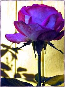 Lila Rose by Ingrid Steinhilber Stöckl