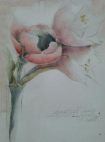 Amaryllis, rose by Stefanie Ihlefeldt