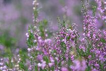 Heideblüten by Silke Heyer Photographie