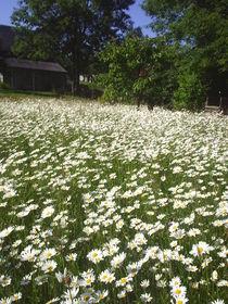 Blumen Wiese von M. Lehmann