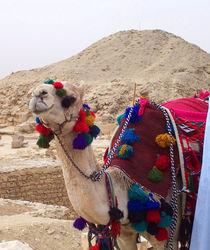 Kamel in Sakkara by Saskia Berndt