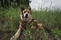 My tiger in the field von Silke Heyer Photographie