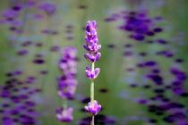 Lavendel von Nikola Hahn