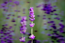 Lavendel by Nikola Hahn