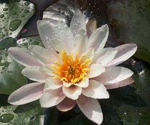 Seerose by rosenlady