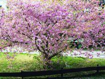 japanische Kirschblüte by rosenlady