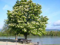 Kastanienbaum am Rhein von rosenlady