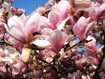 Magnolienbaum von rosenlady