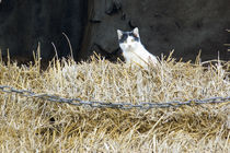 Katze auf Heuboden von Dirk Schäfer