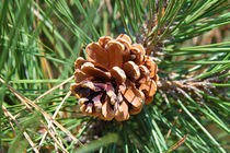 Pine-nut