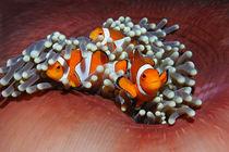 Bali, Nemo, Anemonenfisch by Norbert Probst