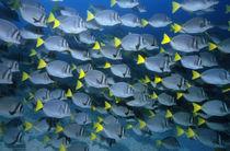 Galapagos, Gelbschwanz Doktorfische by Norbert Probst