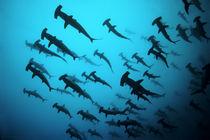 Scalloped Hammerhead sharks, Ecuador Galapagos Islands, Thriller, Bogenstirn-Hammerhaie von Norbert Probst