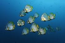 Batfish Cruise von Norbert Probst