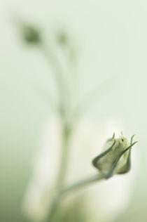 Eustoma lisianthus by Martina Weise