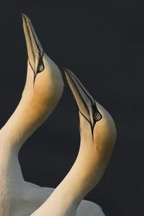 Baßtoelpelpaar von Wilfried Martin