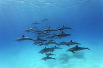 Dolphins Paradise von Norbert Probst