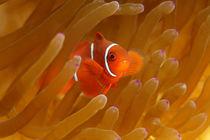 Teeny Nemo von Norbert Probst