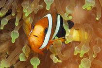Clarks Friend, Nemo von Norbert Probst