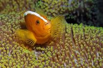 Ralley Clownfish von Norbert Probst