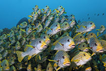 The Audience, Sweetlips at Raja Ampat von Norbert Probst